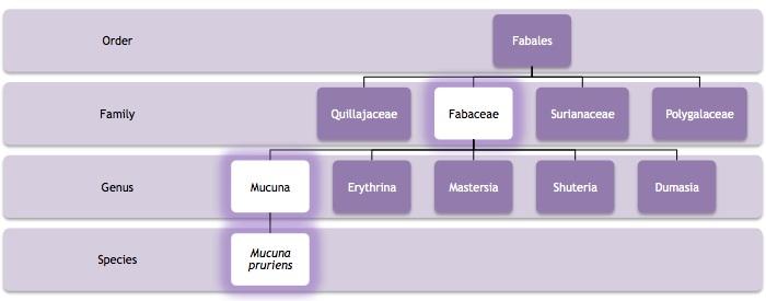 Clasificacion Mucuna pruriens